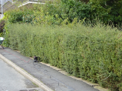 hairy hedge