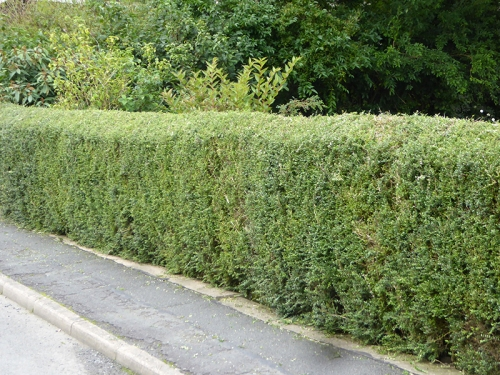 Trimmed hedge