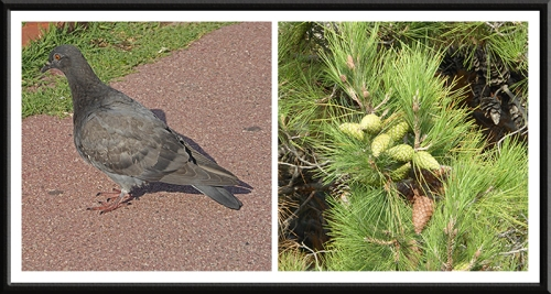 pigeon and pine