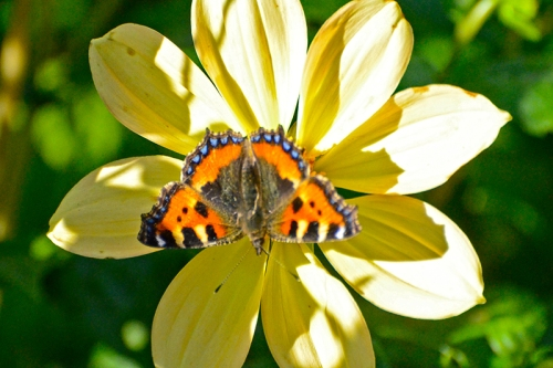 small tortoisehell butterfly