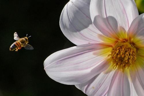 bee and dahlia
