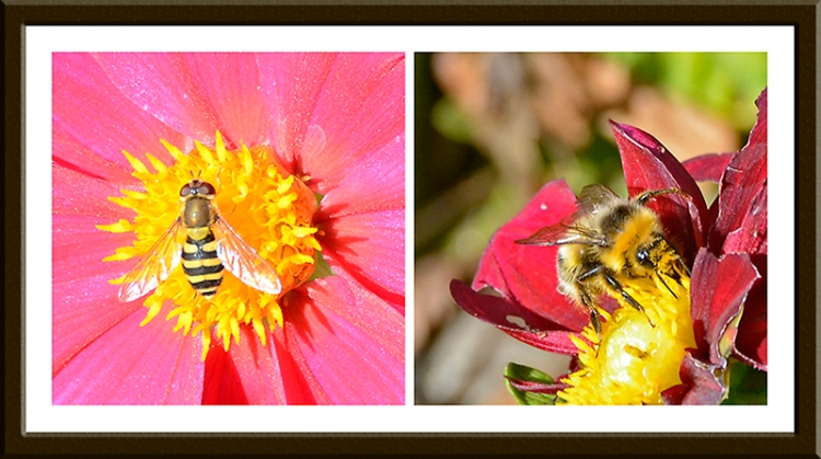 hoverfly and bee on dahlia