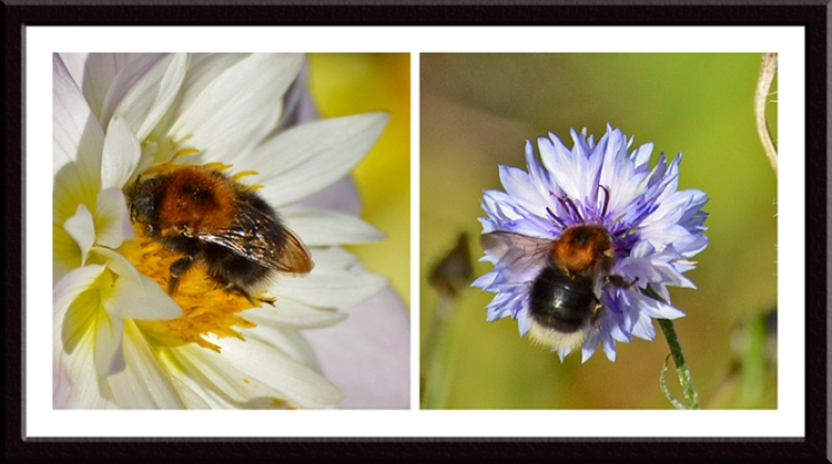 dahlia, cornflower and bumble bees