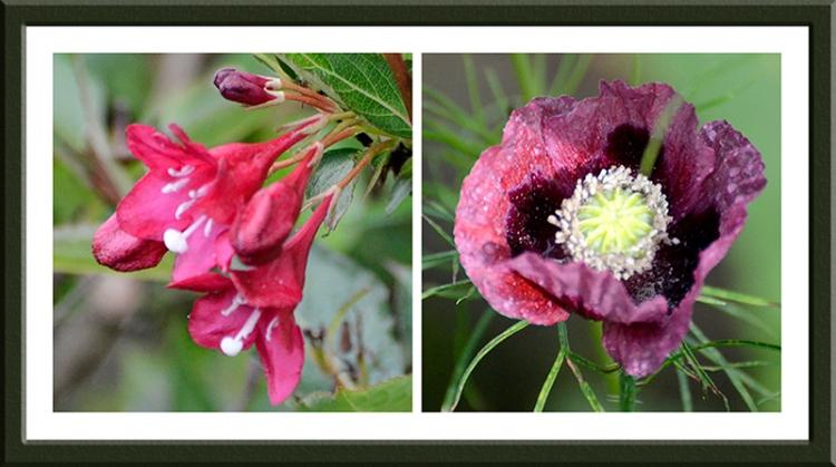 Weigela and poppy