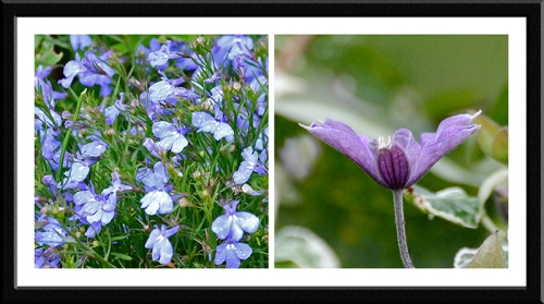 lobelia and clematis