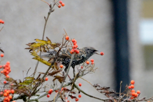 starling with rowan berry