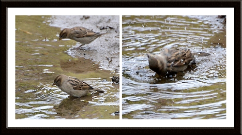 sparrows bathing in dam