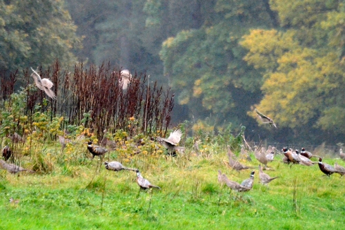 flying pheasants