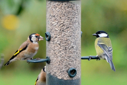 Goldfinch and great tit