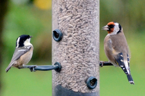goldfinch and coal tit