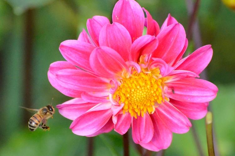 dahlia and bee