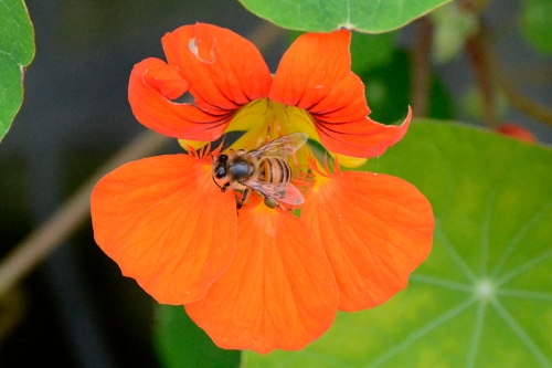 bee on nasturtium
