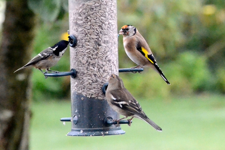 coal tit, chaffinch and goldfinch