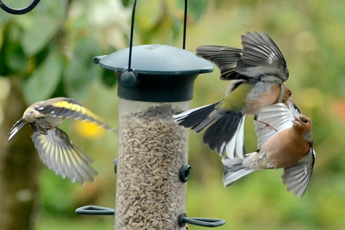 chaffinches squabbling