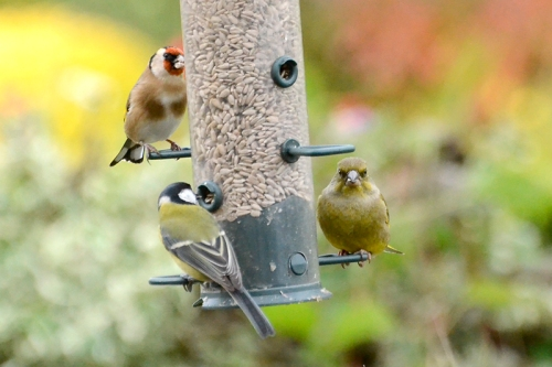 goldfinch, great tit and greenfinch