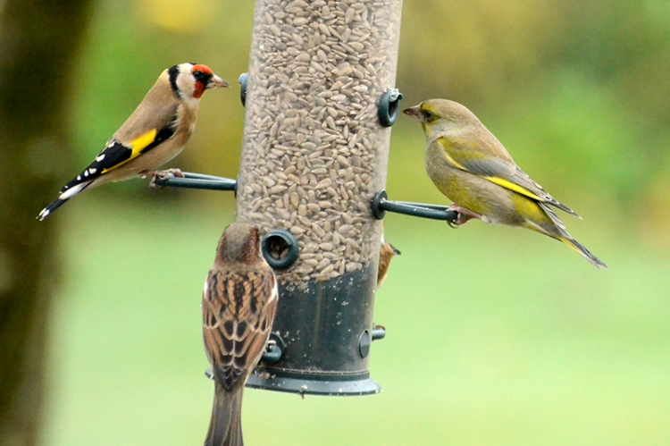 goldfinch, sparrow and greenfinch