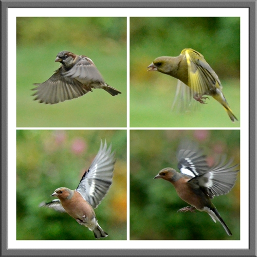 sparrow, greenfinch and chaffinch