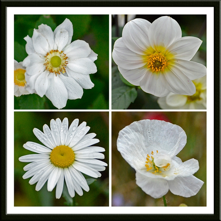 anemone, dahlia, daisy and poppy