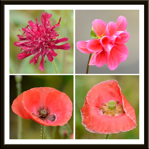 sabius, dahlia, poppy and poppy