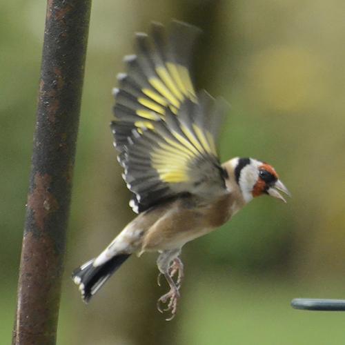 flyng goldfinch