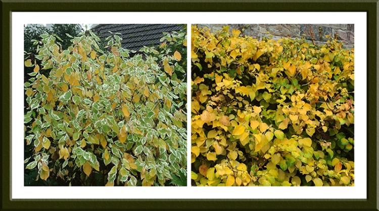 philadelphus and hydrangea