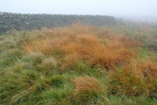 tussocky grass