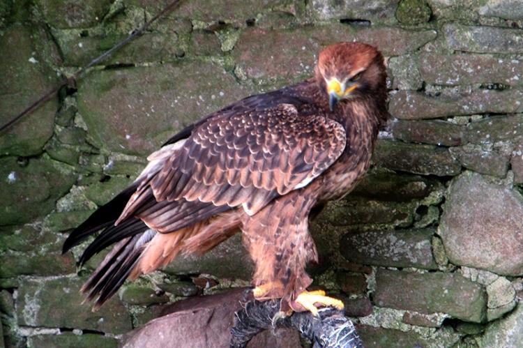 Dunrobin falcon