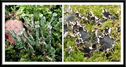 lichens broomholm