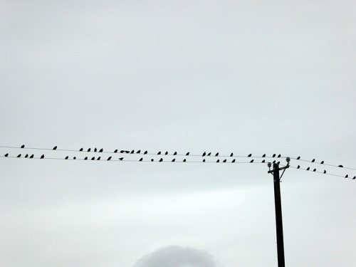 starlings at Blough