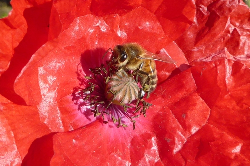bee on poppy