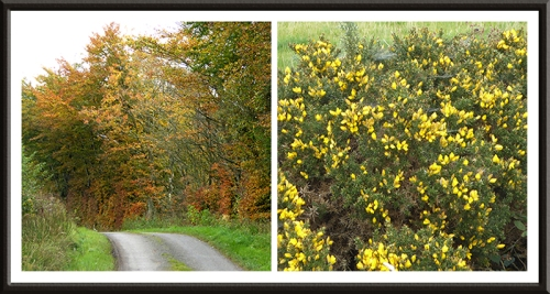 hedge and gorse