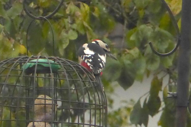 Greater spotted woodpecker in garden