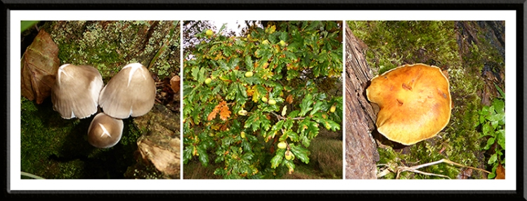 fungus and acorns