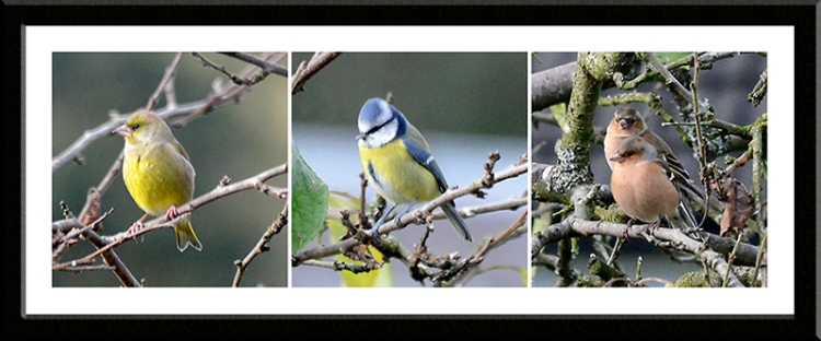 greenfinch, blue tit and chaffinch
