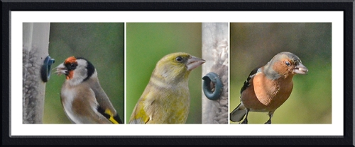 goldfinch, greenfinch and chaffinch