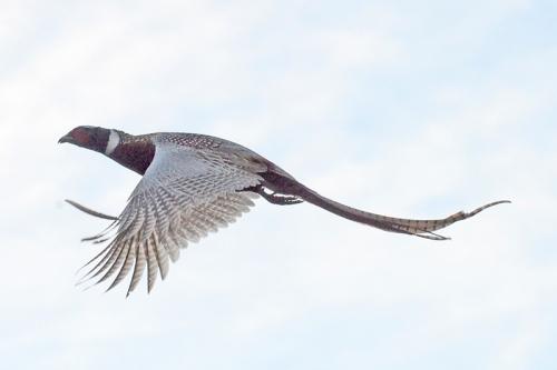 flying phaesant