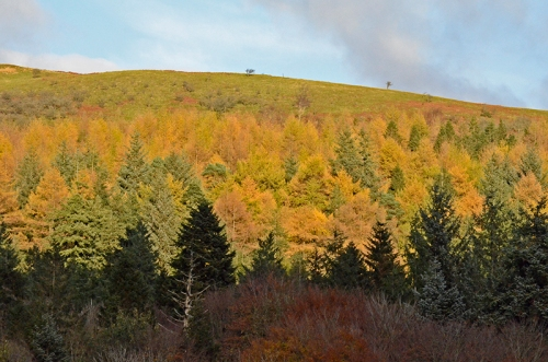 Larches on Castle Hill