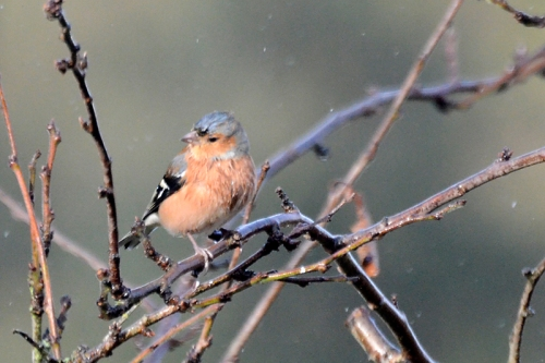 chaffinch in the rain