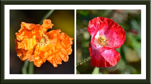 Icelandic and field poppy
