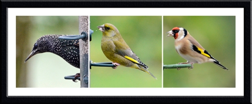 starling, greenfinch and goldfinch