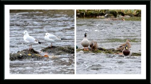 gulls and mallards