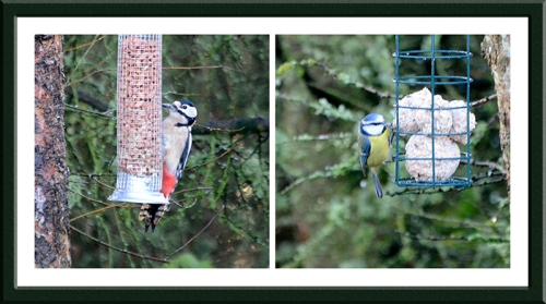 woodpecker and blue tit