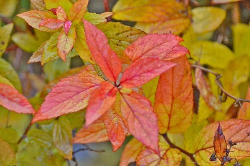 spirea leaf