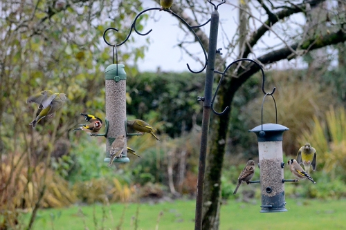 goldfinch and greenfinches