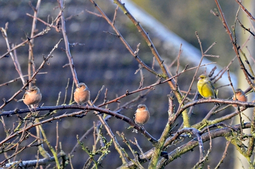 chaffinches and greenfinch in plum tree