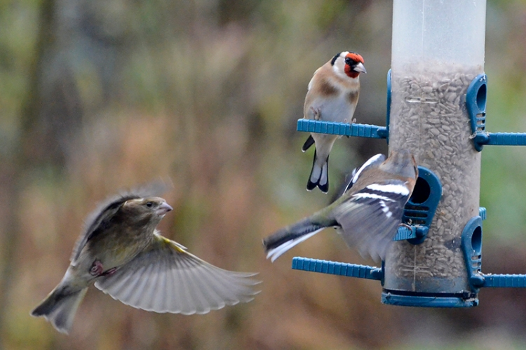 greenfinch, chaffinch and goldfinch