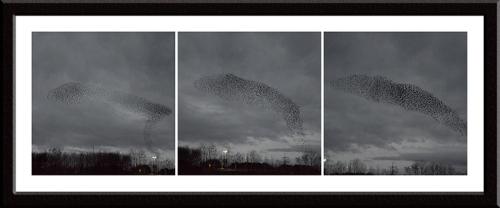 Gretna starlings