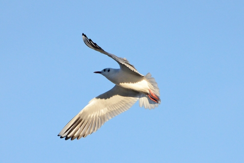 black headed gull flying