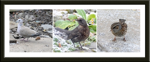 dove, blackbird and dunnock