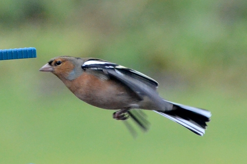 chaffinch in cruise mode